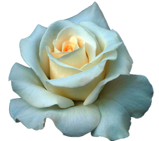 White Rose png by DarkSideofGraphic
