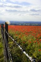 barbed wire and poppies by mo-guy