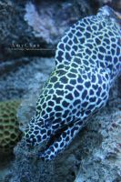Honeycomb Moray Eel by Beloved-chan