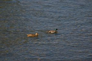 Ducks on the River 2 by uglygosling
