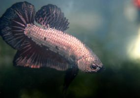 Sherlock the Betta Fish by Hymnsie