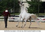 gray arabian halter balk away from camera by slime-stock