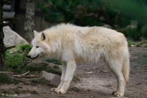 Loup Arctique by MorganeS-Photographe