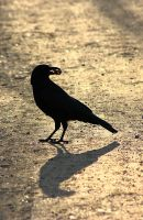 Crow in backlight by JetteReitsma