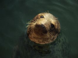 Young seal III by tipoe