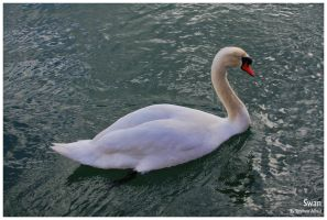 Swan by stephenallred