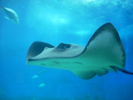 Stingray At Maui Ocean Center by donna-j
