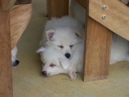 American Eskimo Puppies by djnanner