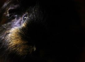 guinea pig 2 by AS142