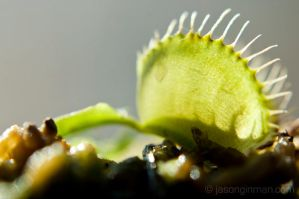 Flytrap 2 by JasonGinman