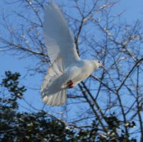 Dove Flying2 by Tasastock