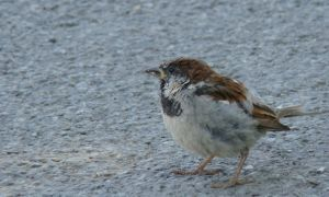 Sparrow III by Verenth