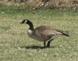 Canadian goose by MaguschildCloud