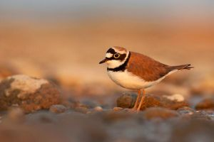 Little Ringed Plover by JMrocek