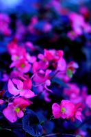 Pink Flowers by Nat-photography