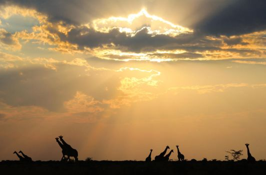 Giraffe Silhouette - Tranquility is Togetherness by LivingWild