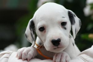 Dalmation Puppy 2 by Smartierocks