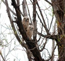 Young Great Horned Owls by LorreesWorld