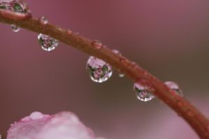 Refracted Cherry Blossoms by Dunclaw