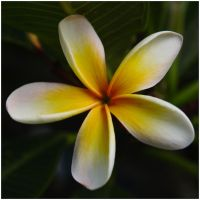 Frangipani 1 by wildplaces