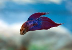 Siamese fighting fish by karabasik