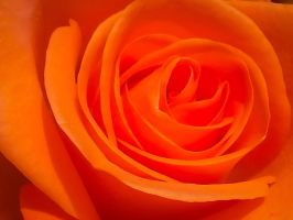 Orange Rose by Kaysusanelliott