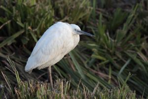 Egret by cycoze