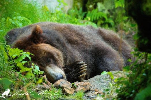 Sweet dreams grizzly... by PhotoDragonBird