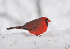 Cardinal in the Snow 1-10-11 by Tailgun2009