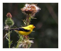 American Goldfinch by CTP