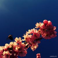Bumble Bee on Japanese Cherry by Moosplauze