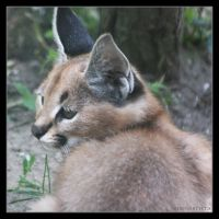 Caracal 3 by Globaludodesign