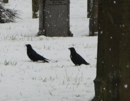 A Couple O' Crows by devonette