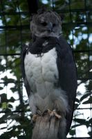 Harpy Eagle by bookscorpion