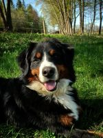 Bernese Mountain Dog by Fealwen