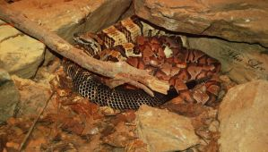 Rattlesnake and copperheads by MiaLeePhotography