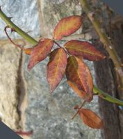 Autumn rose leaves by Reyphotos