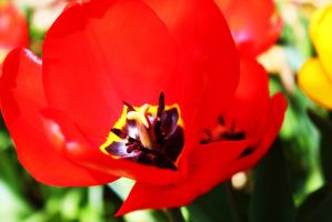 Red Tulip by PhotonicBohemian
