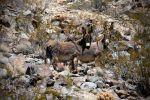 Two Wild Burros by TinyCueCard
