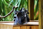 Lemur brothers by Riphath