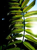 Giant Weed Frond in Light by Sing-Down-The-Moon