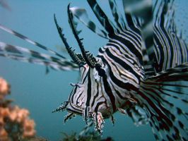 Lionfish 42 by nathy21