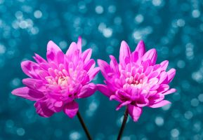 bokeh flowers by pqphotography