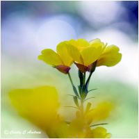 Yellow Primrose by CecilyAndreuArtwork