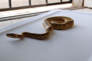 Lemon Blast Ball Python 15 by FearBeforeValor