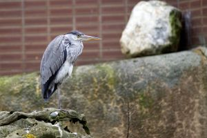 Grey Heron 01 Stock by lokinststock