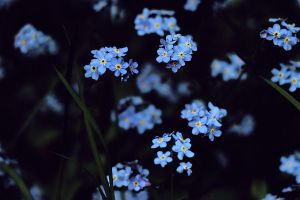 myosotis by collien
