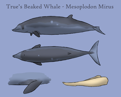 True's Beaked Whale by Morgan-Michele