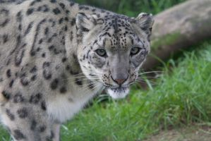 Snow Leopard by Loves2dive