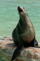 singing sea lion by Drezdany-stocks